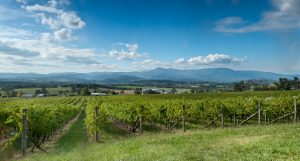 View of vine in the Yarra Valley near Melbourne Australia
